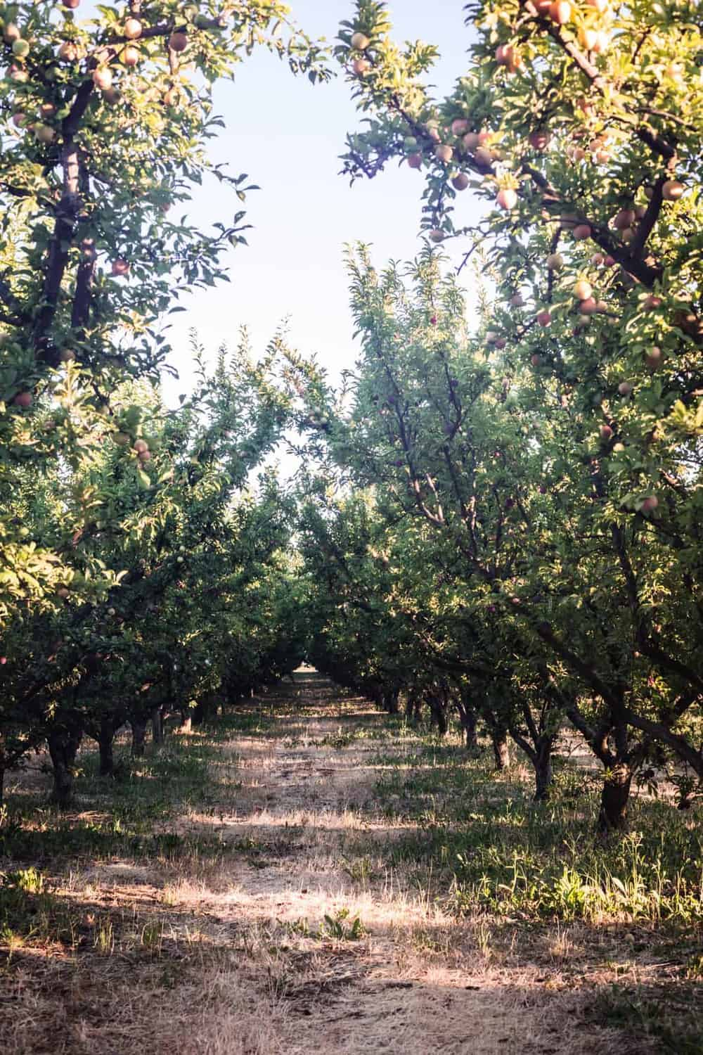 The orchards at Frog Hollow Farm.