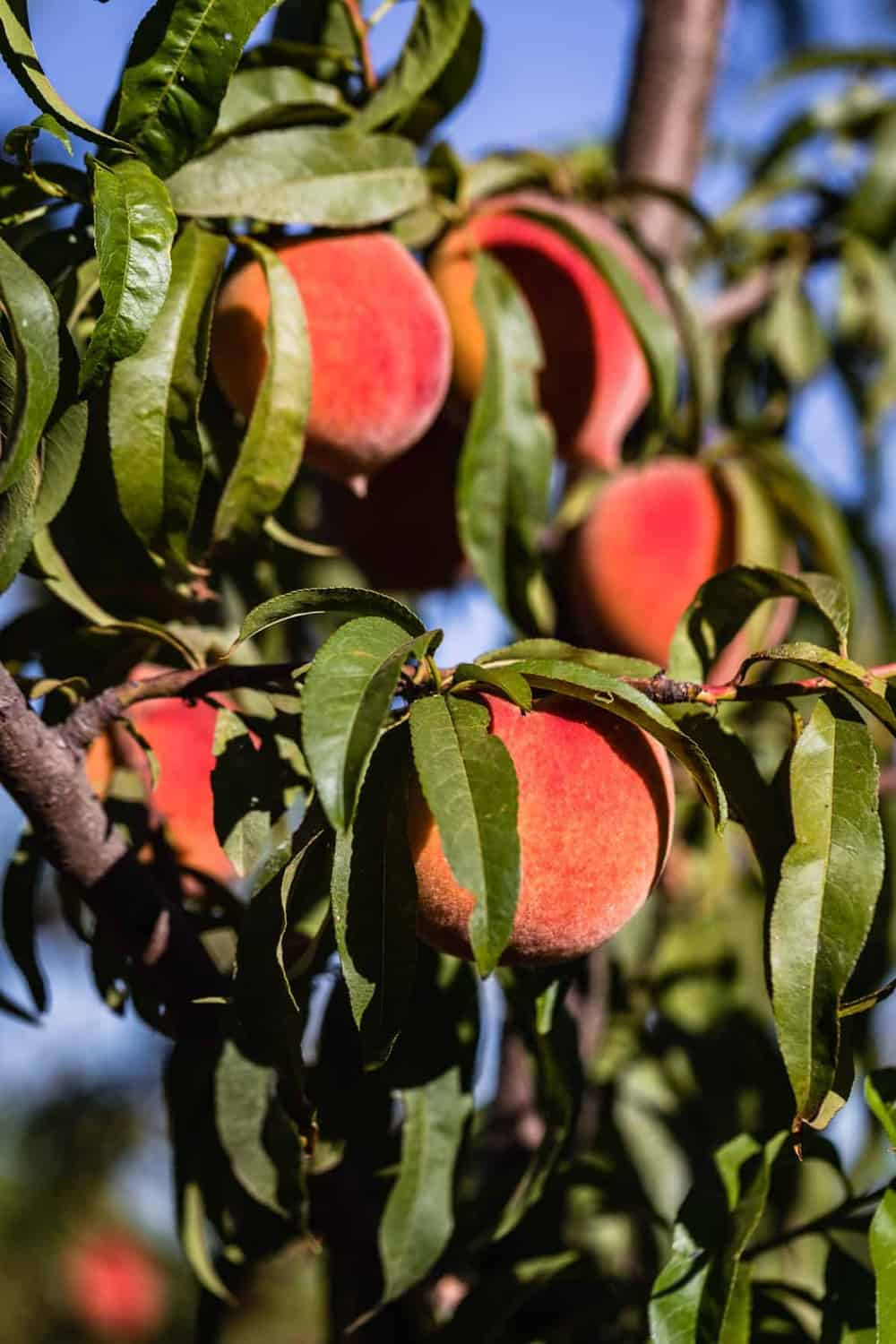 Frog Hollow Farms peaches, growing on the orchards.
