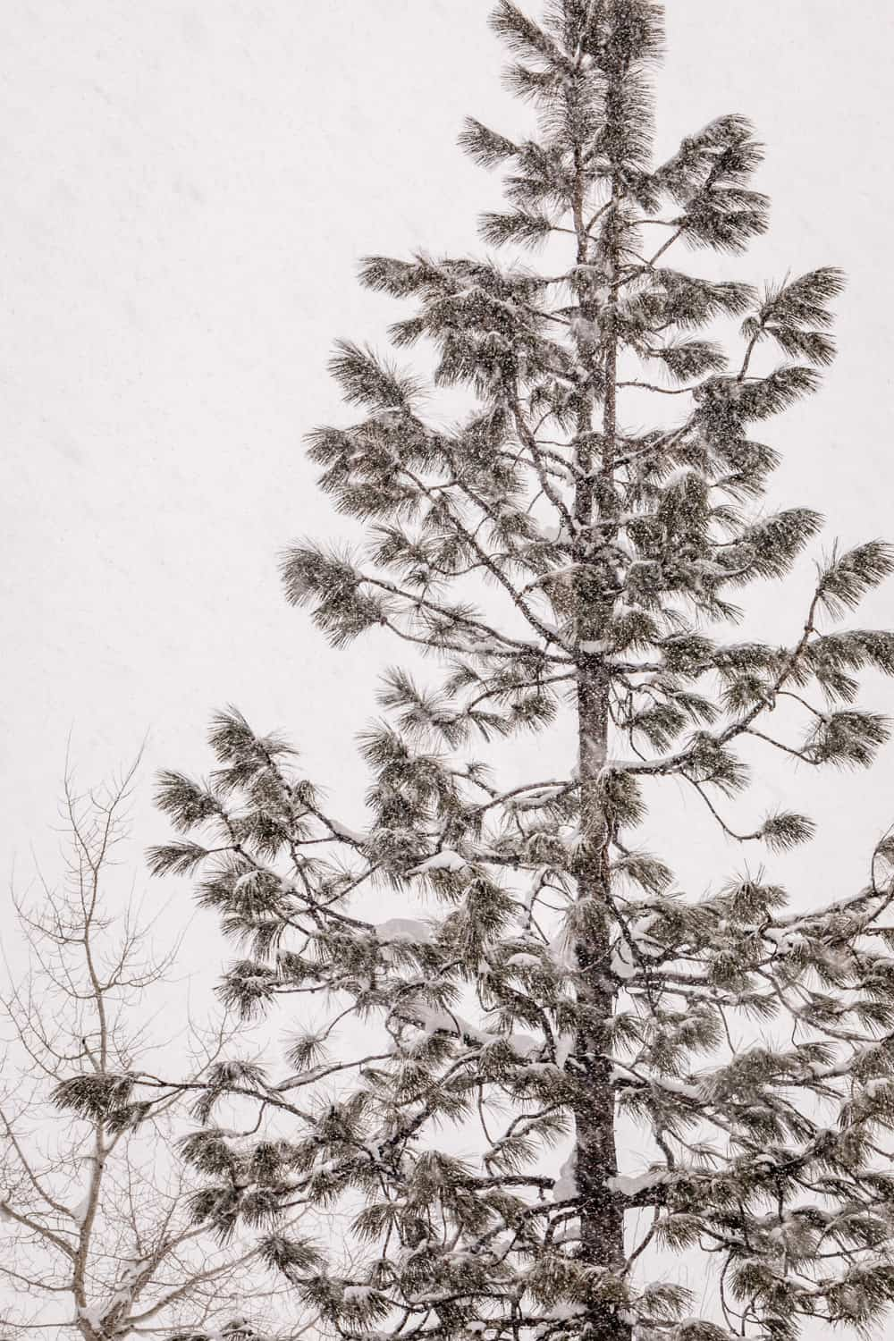 Close up of a single snow filled tree in Squaw Valley.