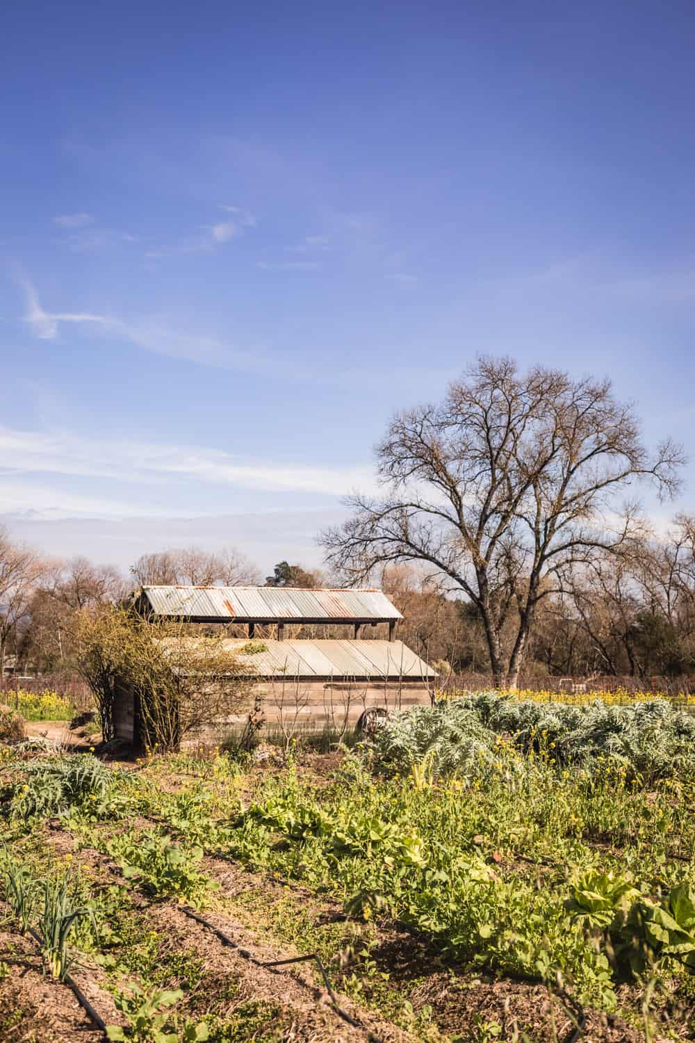 Wooden shack and veggie growing on Davero's biodynamic farm and winery.