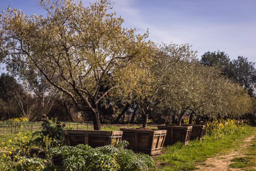 The olive groves on Davero's biodynamic farm and winery.