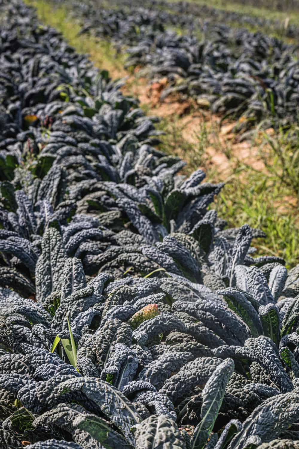 Rows of kale at Amber Waves Farm.