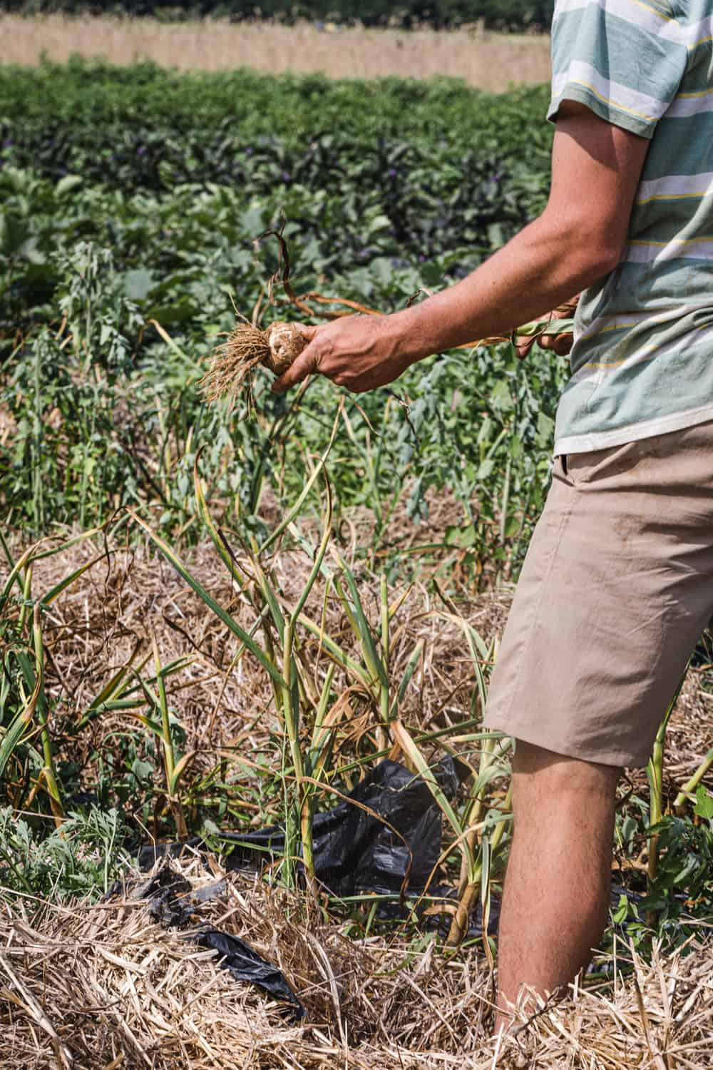 Garlic harvest happening in the Amber Waves Farm.