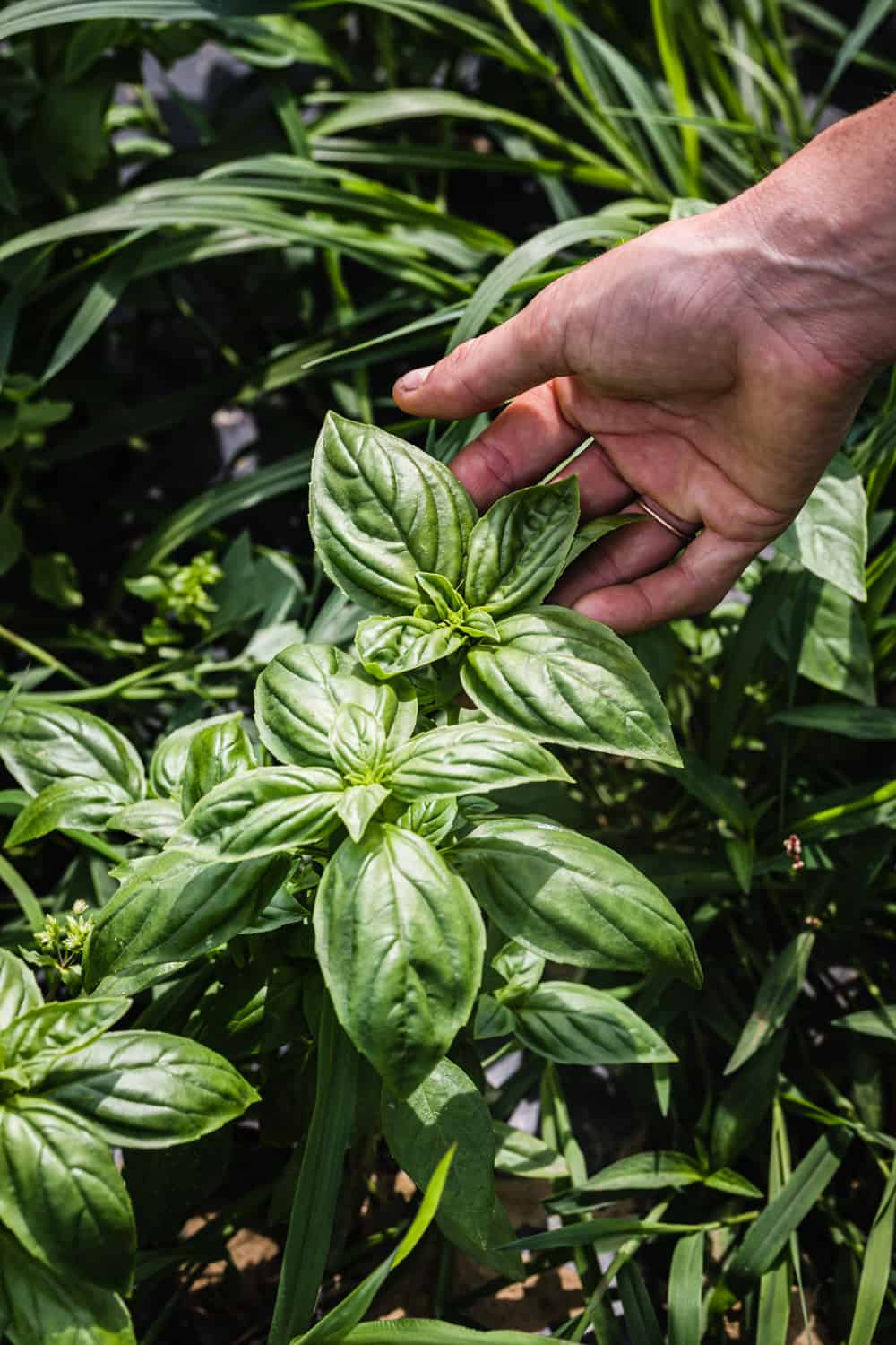 Fresh basil being harvested at Amber Waves Farms in the Hamptons