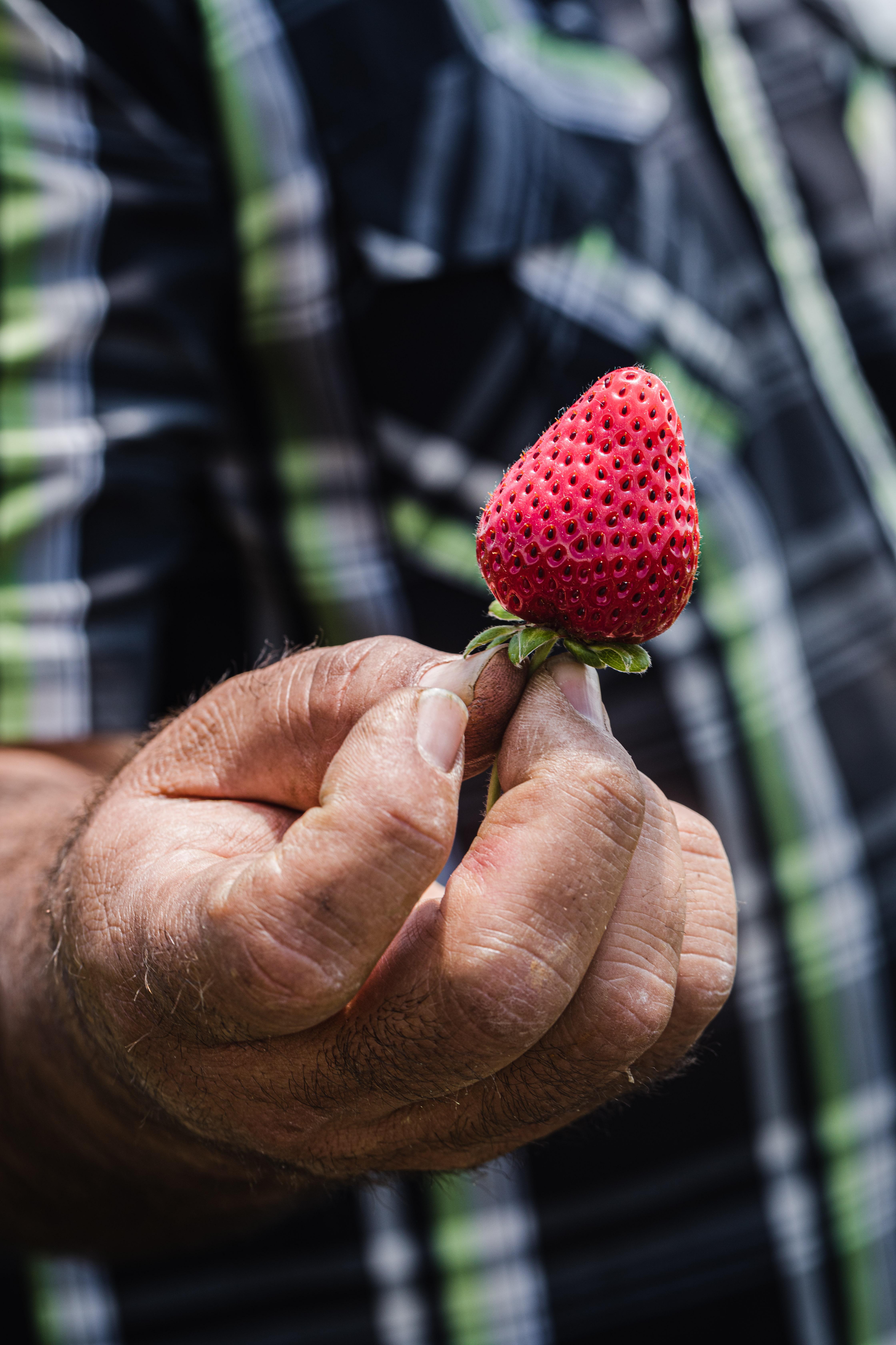 Javier Zamora, of JSM Organics, holding a freshly harvested strawberry.