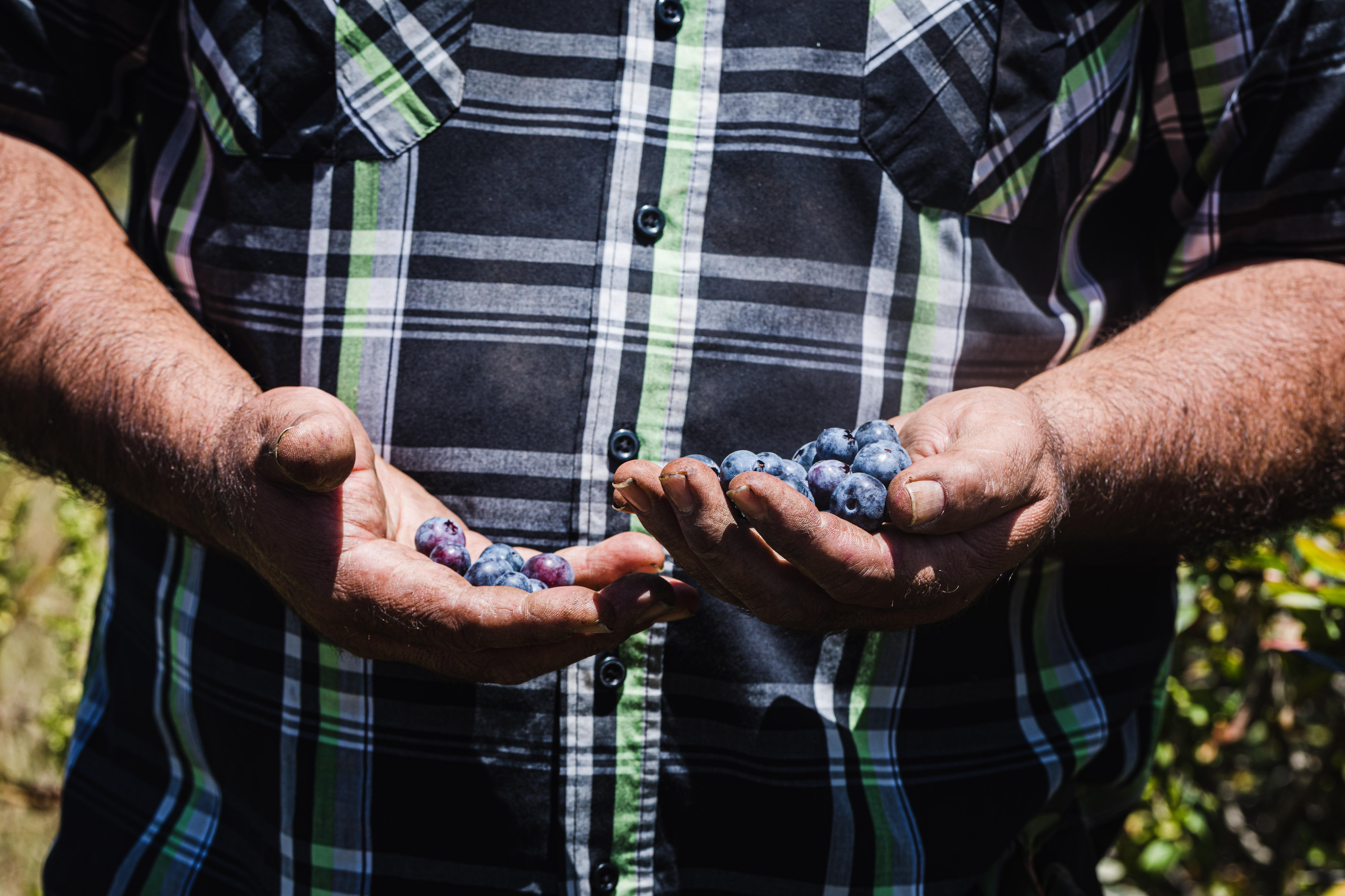 JSM Organics founder, Javier Zamora, showing off the blueberry bounty.