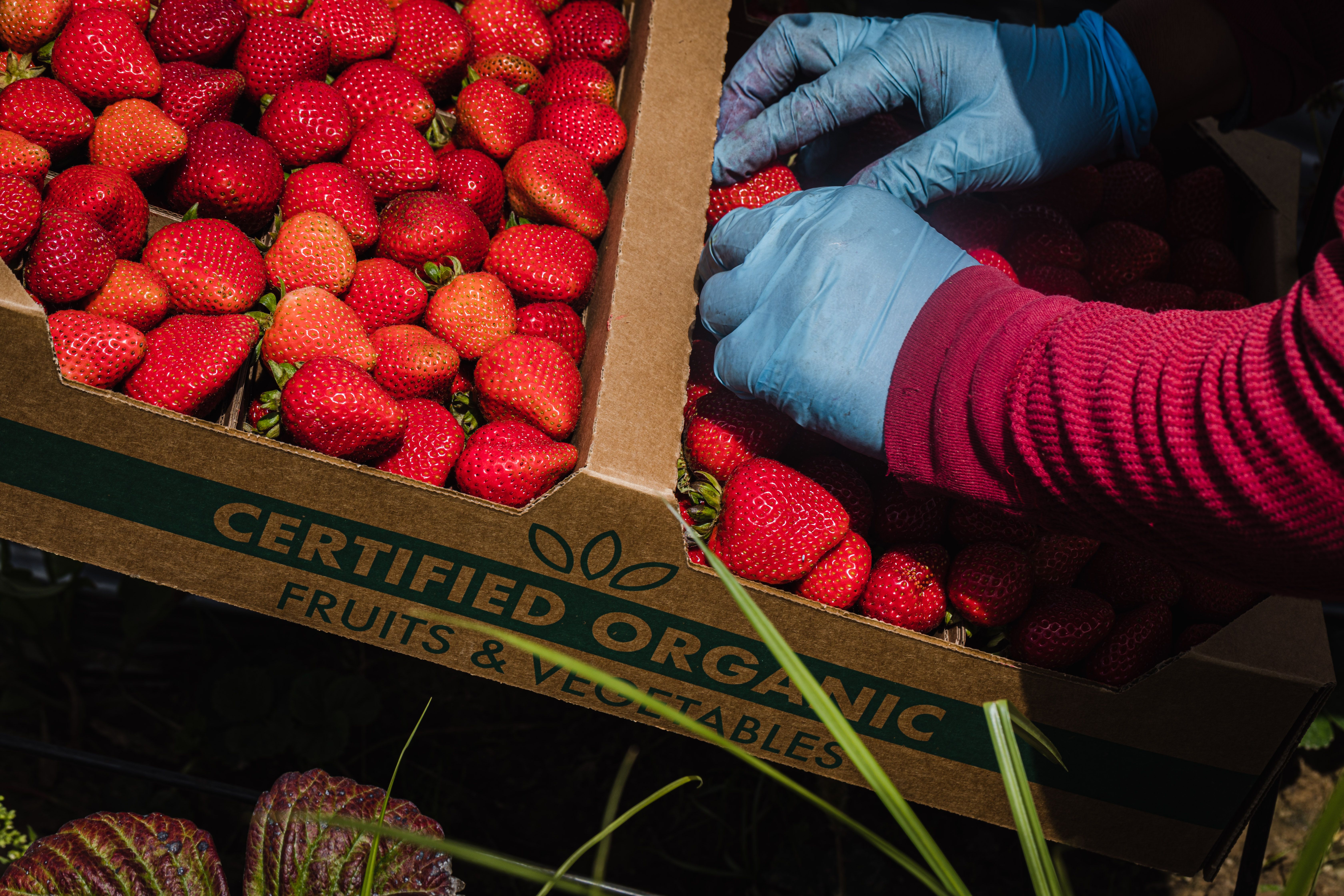 JSM Organic workers harvesting strawberries.