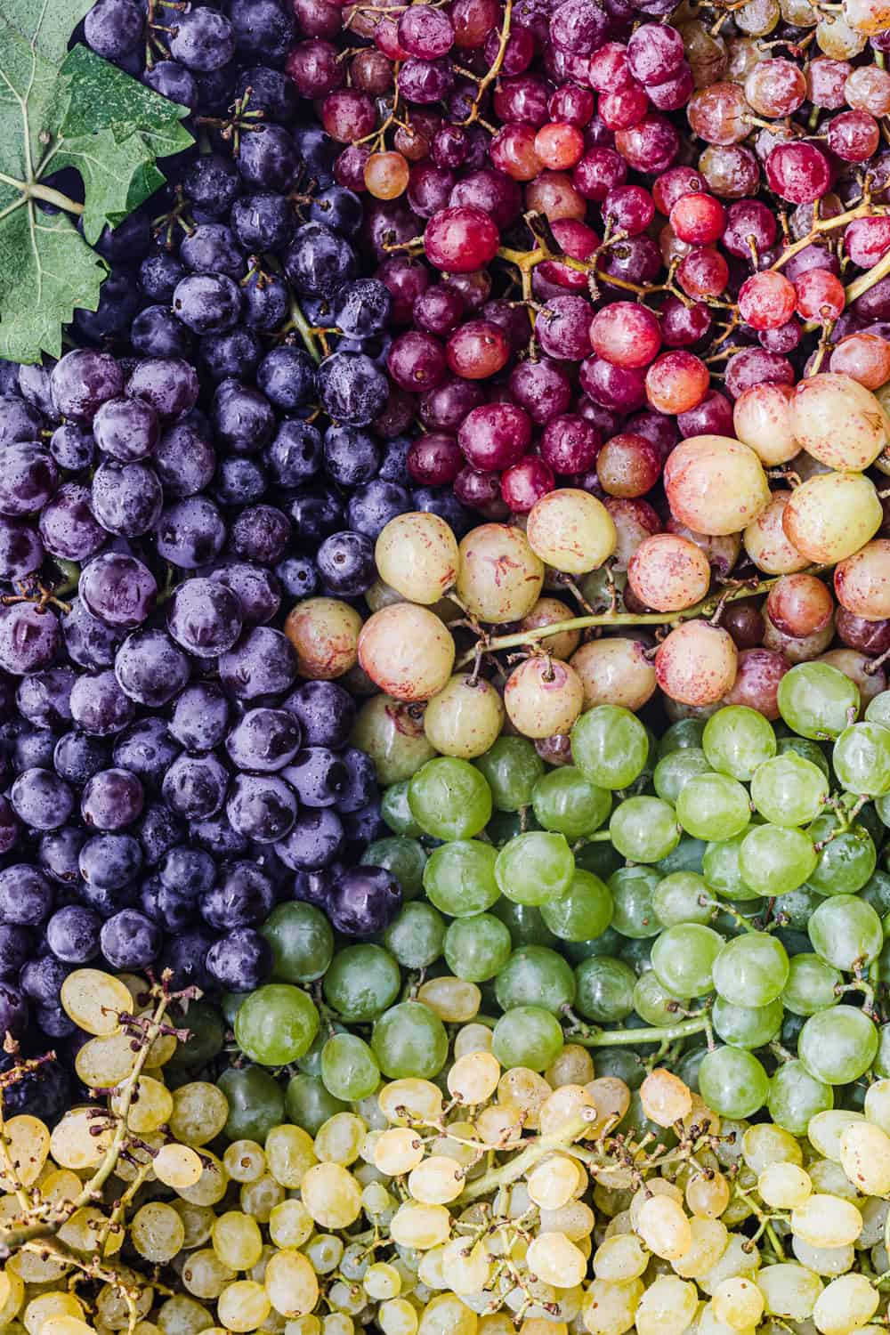 Many varieties and colors of grapes on the vine taking up the entire frame; overhead shot.